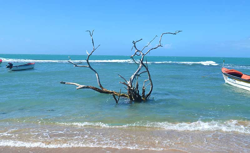 Tree in Treasure Beach Jamaica